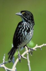 sparrow-dusky_seaside_sparrow-from-wikipedia