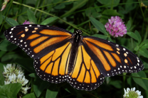 monarch-butterfly-threatened