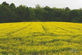 buttercup_field