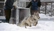 ys-wolf-releasing-sawtooth-pup_npsjimpeaco_680-612x353
